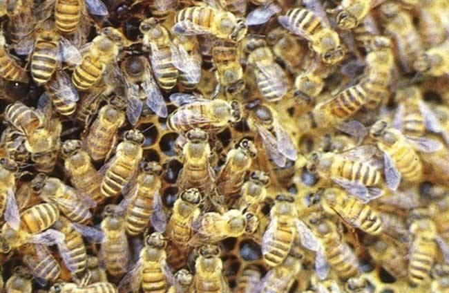 蜜蜂秋季繁殖技术视频