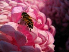 【蜜蜂养殖】蜜蜂来家里是福还是祸?