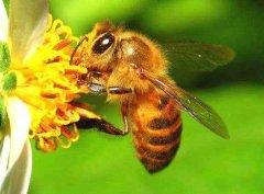 【蜜蜂养殖】蜜蜂的强群标准是怎样的?