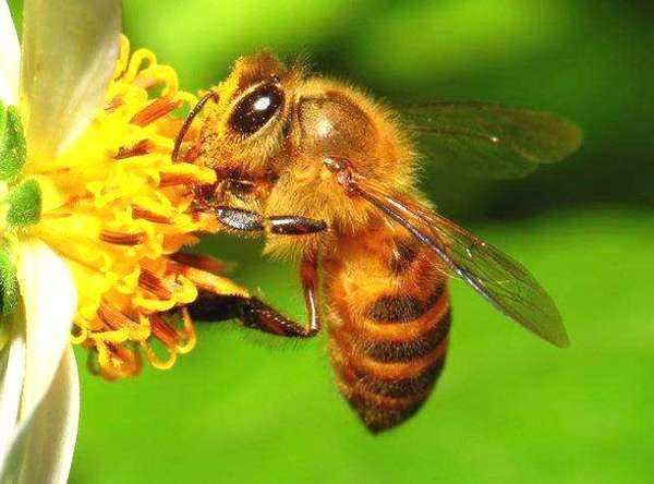 蜜蜂强群可以有15万的工蜂吗