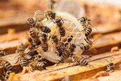 【蜜蜂知识】怎样从蜂团中找到蜂王?