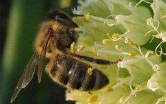 【蜜蜂知识】东北黑蜂是什么蜂种?