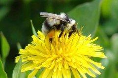 【蜜蜂知识】蜂王不产卵的原因