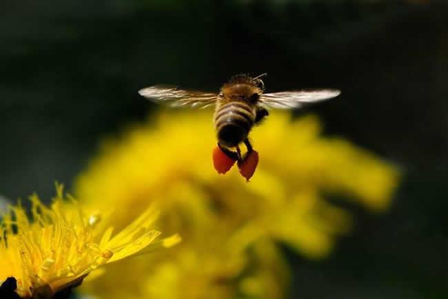 蜂王不产卵的原因