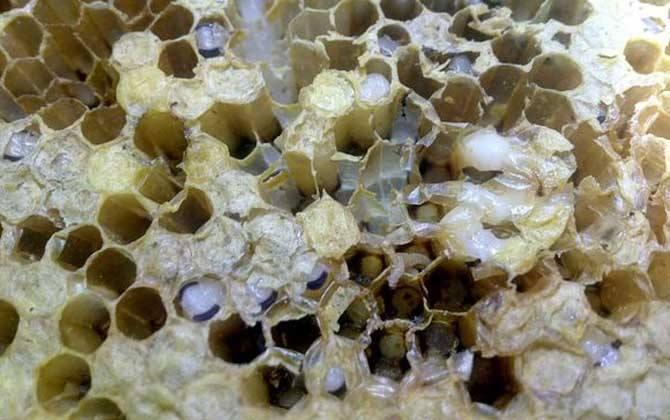 中蜂白头蛹的防治方法