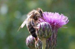养蜂如何防治马蜂?
