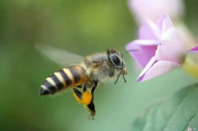 怎样辨别雌蜂和雄蜂(雄蜂和雌蜂的区别)
