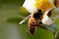 【蜜蜂知识】蜜蜂如何培养蜂王?