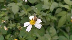 新收的蜜蜂要关几天