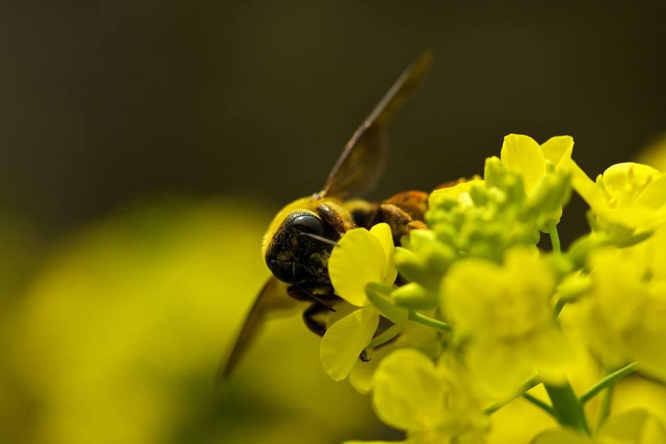 没有蜂王蜜蜂怎么养?