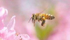 【蜜蜂知识】一箱蜜蜂一年能分几箱?