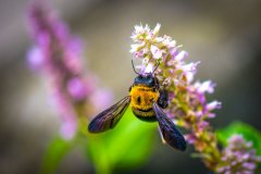 【蜜蜂知识】野蜜蜂怎么抓蜂王?
