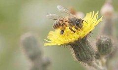 如何诱捕别人家的蜜蜂到蜂箱来?