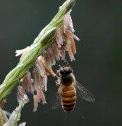 【蜜蜂知识】中华蜜蜂打架怎么控制呢?