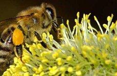 【蜜蜂知识】蜜蜂的养殖方法