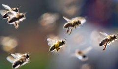 【蜜蜂知识】什么是蜜蜂巢虫?
