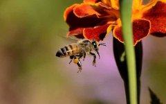 新手如何在家养好蜜蜂?