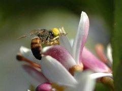 卡尼鄂拉蜂(卡蜂)