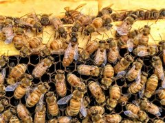 意大利蜜蜂怎样育王?