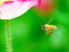 【蜜蜂知识】意大利蜜蜂一年可以繁殖几箱?
