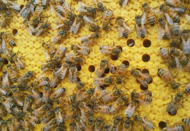 东北黑蜂的生活习性