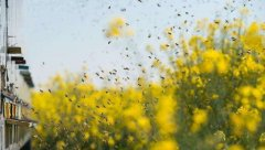 【蜜蜂养殖】一百只蜂的蛋群速繁法