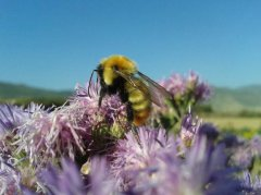 塞浦路斯蜜蜂