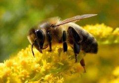 【蜜蜂养殖】一箱意蜂一年分几箱?
