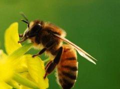 【蜜蜂知识】小小蜜蜂作用大,造福人类全靠它