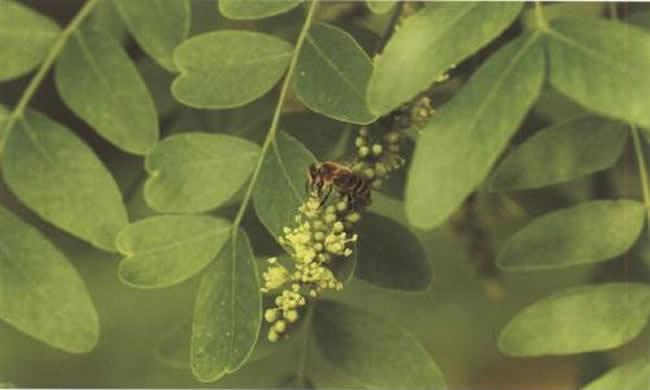 安纳托利亚蜂