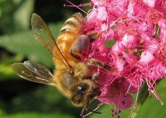 【蜜蜂养殖】中蜂和意蜂那个更好养?