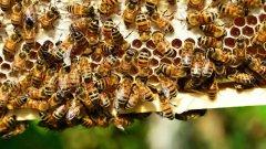 【蜜蜂知识】松丹一号的优点和缺点
