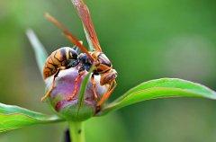 【蜜蜂知识】马蜂怎么筑巢?