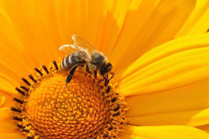马蜂怎么筑巢?