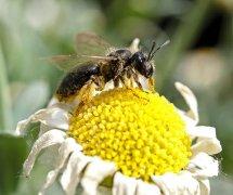 【蜜蜂知识】意大利蜜蜂什么时候开始春繁?