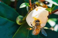 【蜜蜂知识】意大利蜜蜂什么时候秋繁?