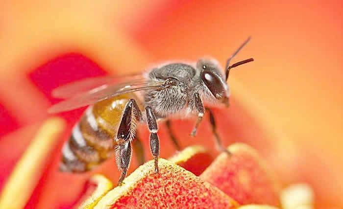 自然分蜂后怎么处理?