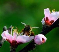 【蜜蜂知识】蜂王不产卵是什么原因?