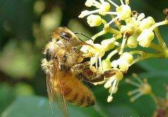 蜜蜂最怕什么东西?(怕酒水、颜色、气味还是什么药)