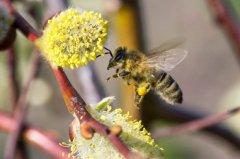 【蜜蜂知识】蜜蜂飞逃前有什么征兆?