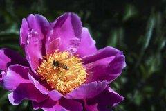中蜂什么时候开始秋繁?