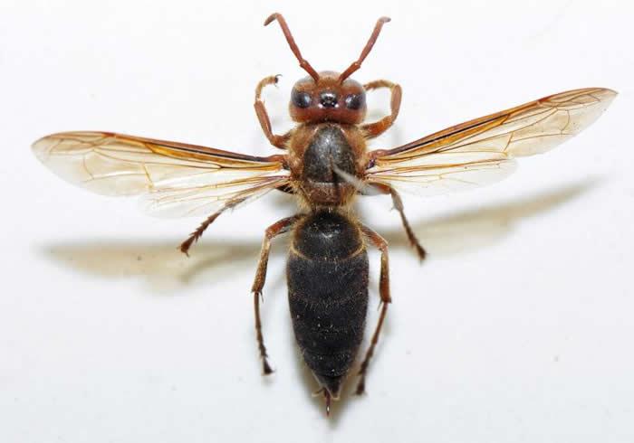 黑腹虎头蜂