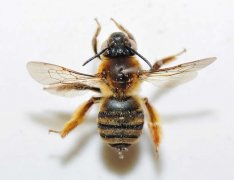 切叶蜂的生活习性