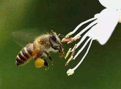 【蜜蜂知识】雄蜂出房多久分蜂?