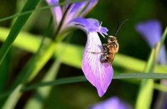 【蜜蜂知识】雄蜂卵和工蜂卵的区别?