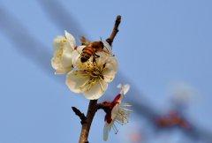 蜜蜂入夏怎么防止断产?