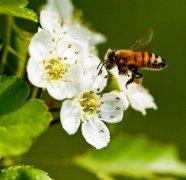 蜜蜂最怕什么?