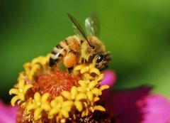 蜜蜂采花蜜是为了什么?