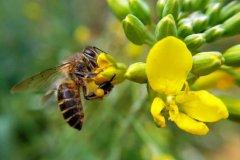 【蜜蜂知识】蜜蜂有几条腿和翅膀?