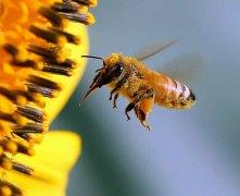 【蜜蜂知识】蜜蜂螫人后为什么会死?
